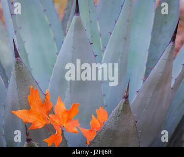 USA, Texas, Guadalupe Mountains National Park. Bigtooth maple leaves on New Mexican agave plant. Credit as: Don - Stock Photo