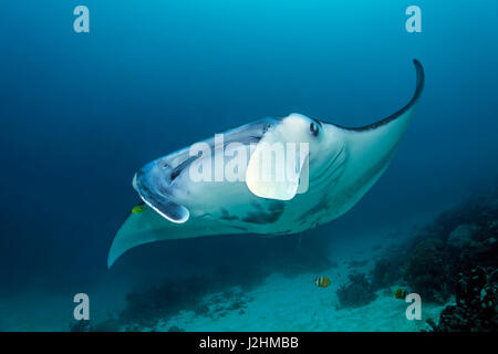 Reef manta ray (Manta alfredi), swimming over coral reef, front view, fish, Raja Ampat, West Papua, Pacific, Indonesia - Stock Photo
