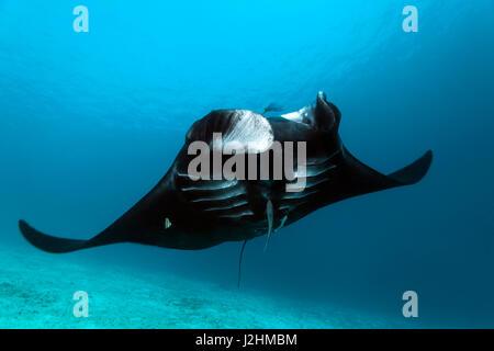Pelagic manta ray (Manta birostris), swimming over sand ground, black, fish, Raja Ampat, West Papua, Pacific, Indonesia - Stock Photo