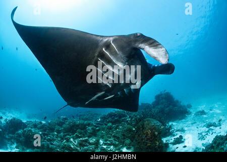 Pelagic manta ray (Manta birostris), swimming over coral reef, black, fish, Raja Ampat, West Papua, Pacific, Indonesia - Stock Photo