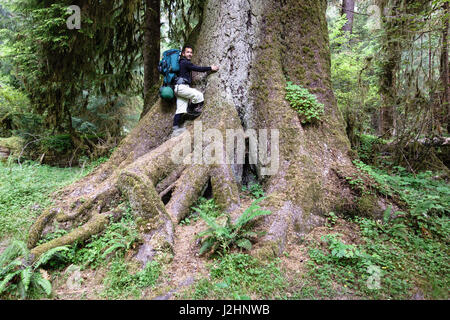Hoh Rain Forest, Olympic National Park, Washington State. Man with backpack on giant old growth Sitka Spruce tree - Stock Photo