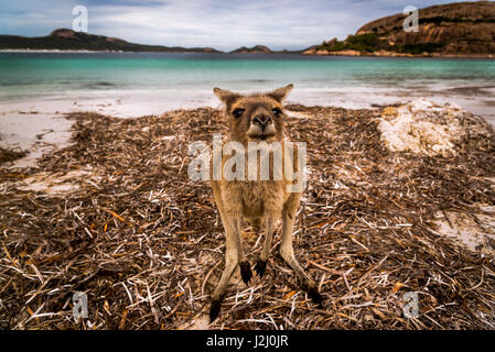 Wallaby of Lucky Bay in Cape Le Grand National Park, Western Australia - Stock Photo