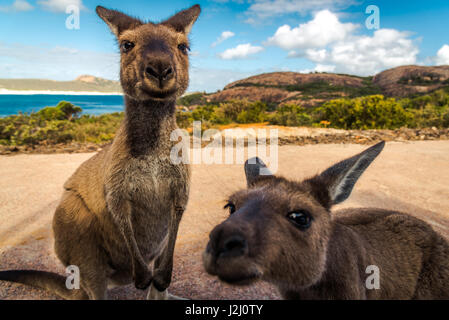 Wallabies of Lucky Bay in Cape Le Grand National Park, Western Australia - Stock Photo