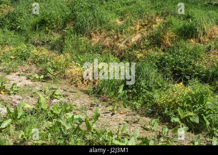 Noxious weed control by herbicide use - yellowed leaves of poisoned Hemlock Water-Dropwort / Oenanthe crocata beside - Stock Photo