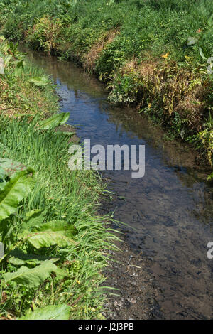 Noxious weed control - yellowed leaves of poisoned Hemlock Water-Dropwort (Oenanthe crocata) beside drainage ditch, - Stock Photo