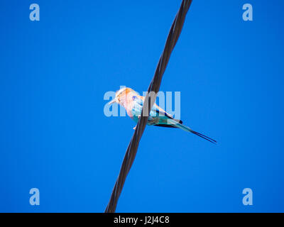 Bird on a wire, low angle point of view of lilac breasted roller. - Stock Photo