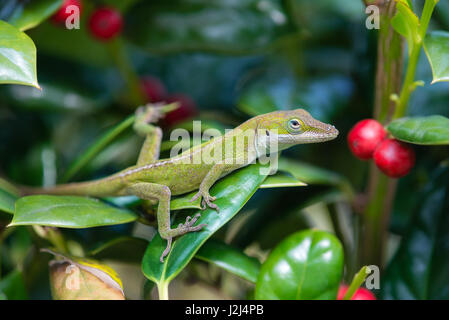 Young Green Anole lizard (Anolis carolinensis) hiding in the garden shrubs - Stock Photo