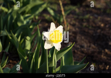Yellow Narcissus in the Sunset - Stock Photo
