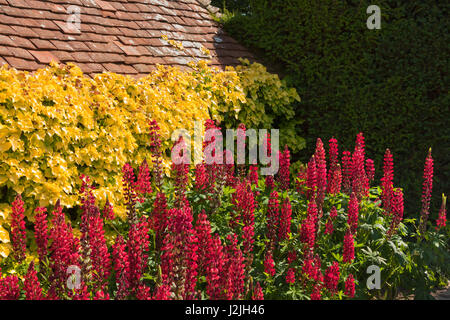 Sweet Topiary In The Gardens At Great Dixter East Sussex Stock Photo  With Glamorous Red Lupines At The Topiary Lawn Great Dixter Gardens East Sussex Great  Britain With Alluring Winter Gardens Way Banbury Also Halls Garden Supplies In Addition Indoor Tropical Garden And Fairy Garden Kits As Well As Hamptons Garden Centre Wakefield Additionally Stourhead Gardens Wiltshire From Alamycom With   Glamorous Topiary In The Gardens At Great Dixter East Sussex Stock Photo  With Alluring Red Lupines At The Topiary Lawn Great Dixter Gardens East Sussex Great  Britain And Sweet Winter Gardens Way Banbury Also Halls Garden Supplies In Addition Indoor Tropical Garden From Alamycom