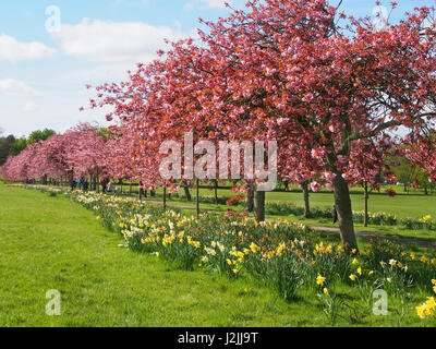 Pink blossom on the ornamental cherry trees (prunus) in the Stray, Harrogate, North Yorkshire, with a blue sky, - Stock Photo