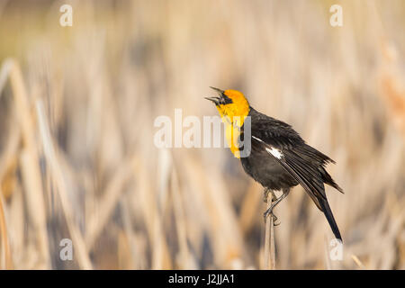 USA, Wyoming, Sublette County, Yellow-headed Blackbird calling in springtime in cattail marsh - Stock Photo