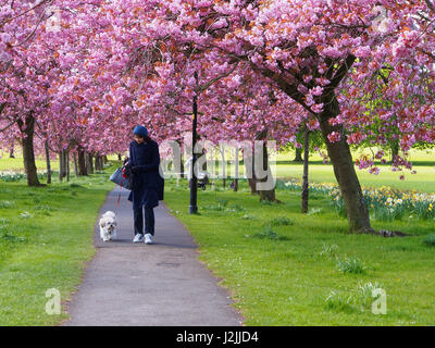 A lady walks her dog through the pink cherry blossom on the Prunus trees  in spring on The Stray in Harrogate, North - Stock Photo