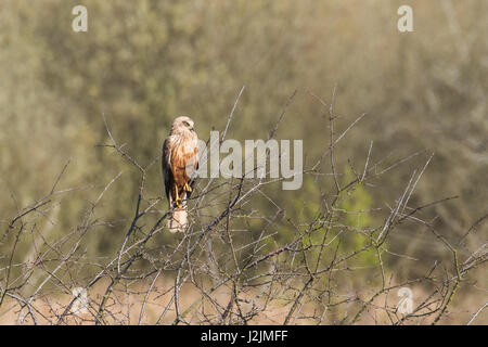 Male Western marsh harrier (Circus aeruginosus) perched in a tree - Stock Photo