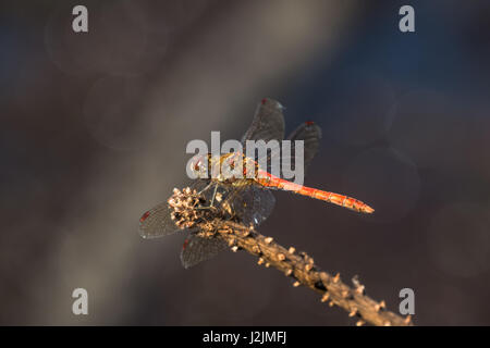 Male Common Darter dragonfly (Sympetrum striolatum) perched on stick - Stock Photo