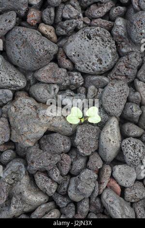 Morning Glory cotyledon sprouting through weathered lava stones (Ipomoea) - Stock Photo