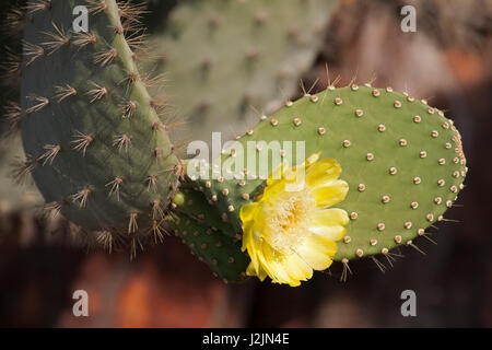 Prickly Pear Cactus flower in the Galapagos Islands - Stock Photo