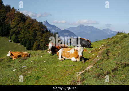 Cows in the high alpine meadows of Austria - Stock Photo