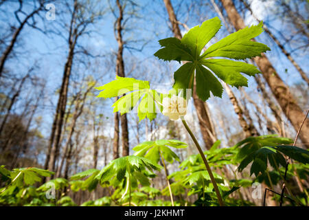 Mayapple (Podophyllum peltatum) - Holmes Educational State Forest, Hendersonville, North Carolina, USA - Stock Photo