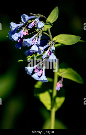 Virgina Bluebells (Mertensia virginica) - North Carolina Arboretum, Asheville, North Carolina, USA - Stock Photo