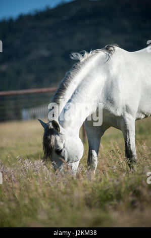 White Andalusian Stallion in green pasture - Stock Photo