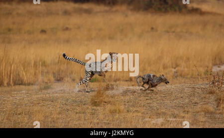 A young cheetah chasing a jackal in Zambia. - Stock Photo