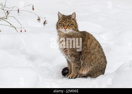 European wild cat (Felis silvestris silvestris) sitting in the snow in winter - Stock Photo
