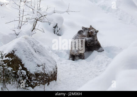 Two 1-year-old brown bear cubs (Ursus arctos arctos) play fighting in the snow in winter - Stock Photo