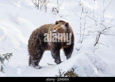 European brown bear (Ursus arctos arctos) foraging in the snow in winter / spring - Stock Photo