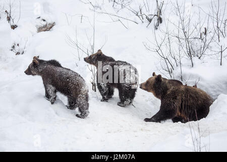 Female and two 1-year-old brown bear cubs (Ursus arctos arctos) leaving den in the snow in winter - Stock Photo