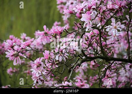 Magnolia Loebneri (Leonard Messel)pink star shaped Magnolia in full bloom in spring - Stock Photo