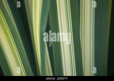 Spider plant detail - Stock Photo