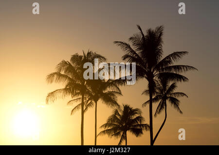 Coconut Palms at Sunset - Stock Photo