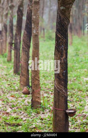 Vietnam, DMZ Area, Quang Tri Province, rubber tree plantation - Stock Photo