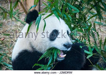 A giant panda munching on bamboo at the Giant Panda Breeding Research Base, Chengdu, Sichuan Province, China - Stock Photo