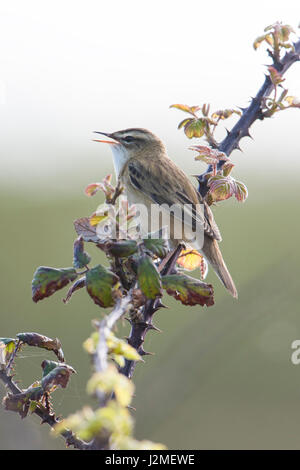 A Sedge Warbler (Acrocephalus schoenobaenus) singing from scrub to attract a mate in spring, Rye harbour nature - Stock Photo