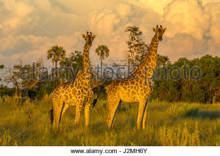 A pair of Giraffe in the evening sun as storm clouds gather behind them. - Stock Photo