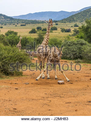 A Giraffe splays its legs to reach a salt-lick in the Pilanesberg National Park. Mineral rich licks are provided - Stock Photo