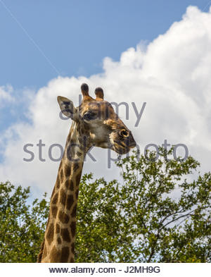 A close-up of a  Giraffe head set against a blue sky with white cumulus clouds. - Stock Photo