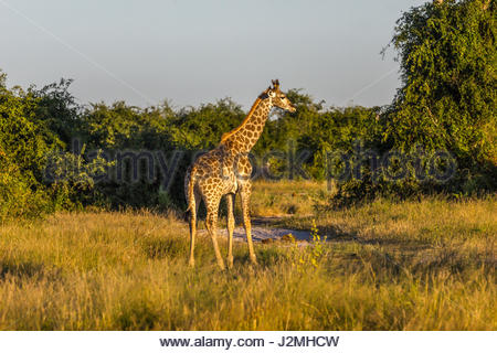 A lone Giraffe in the Chobe National Park, Botswana - Stock Photo