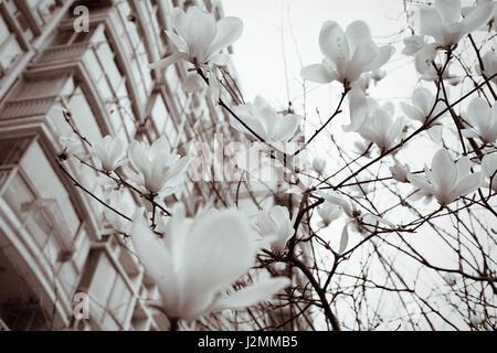 Magnolia flowers in spring season - black and white - Stock Photo