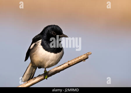Oriental Magpie Robin sitting on a branch - Stock Photo