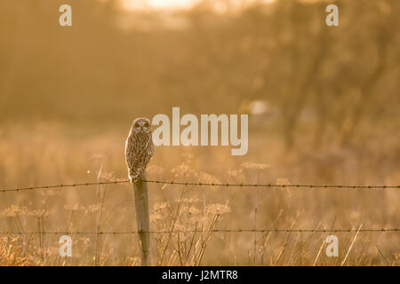 Short-eared Owl (Asio flammeus) perched on a barbed-wire fence post in winter sunset - Stock Photo