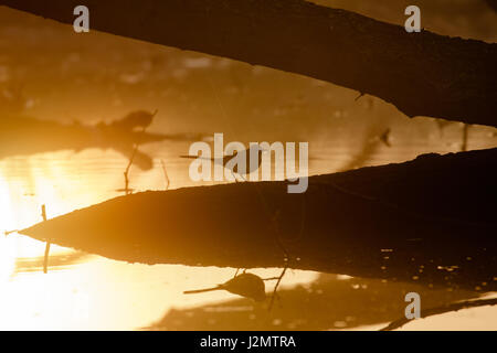Silhouette of a Grey Wagtail (Motacilla cinerea) on a golden pond at sunrise - Stock Photo