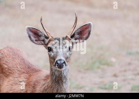 A two year-old male Columbian black-tailed deer, with two small spike antlers, stares attentively at the photographer. - Stock Photo