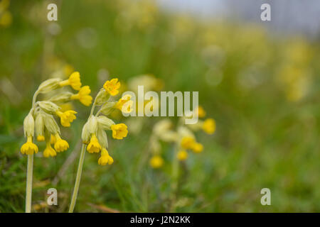 Spring time flowers of yellow wild cowslip - Stock Photo
