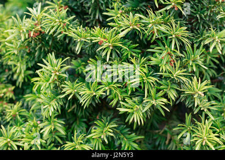 Yew tree close up of branches taken in the Springtime, English Countryside - Stock Photo