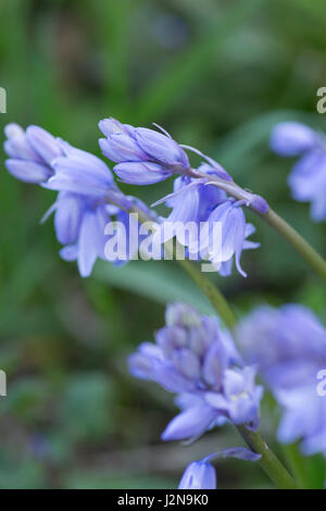 Spanish bluebells - Stock Photo