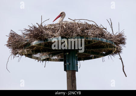 In the Monbardon wet area (Hossegor - Landes - France), a white female stork brooding. Dans les barthes de Monbardon - Stock Photo
