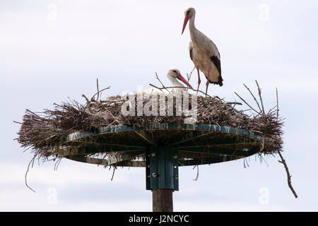 In the Monbardon wet area (Hossegor - France), a couple of white storks sharing in the incubation of eggs. Dans - Stock Photo