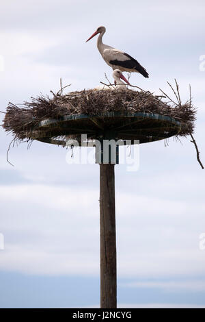In the Monbardon wet area (Hossegor - France), a white stork standing on its nest. Dans les barthes de Monbardon - Stock Photo